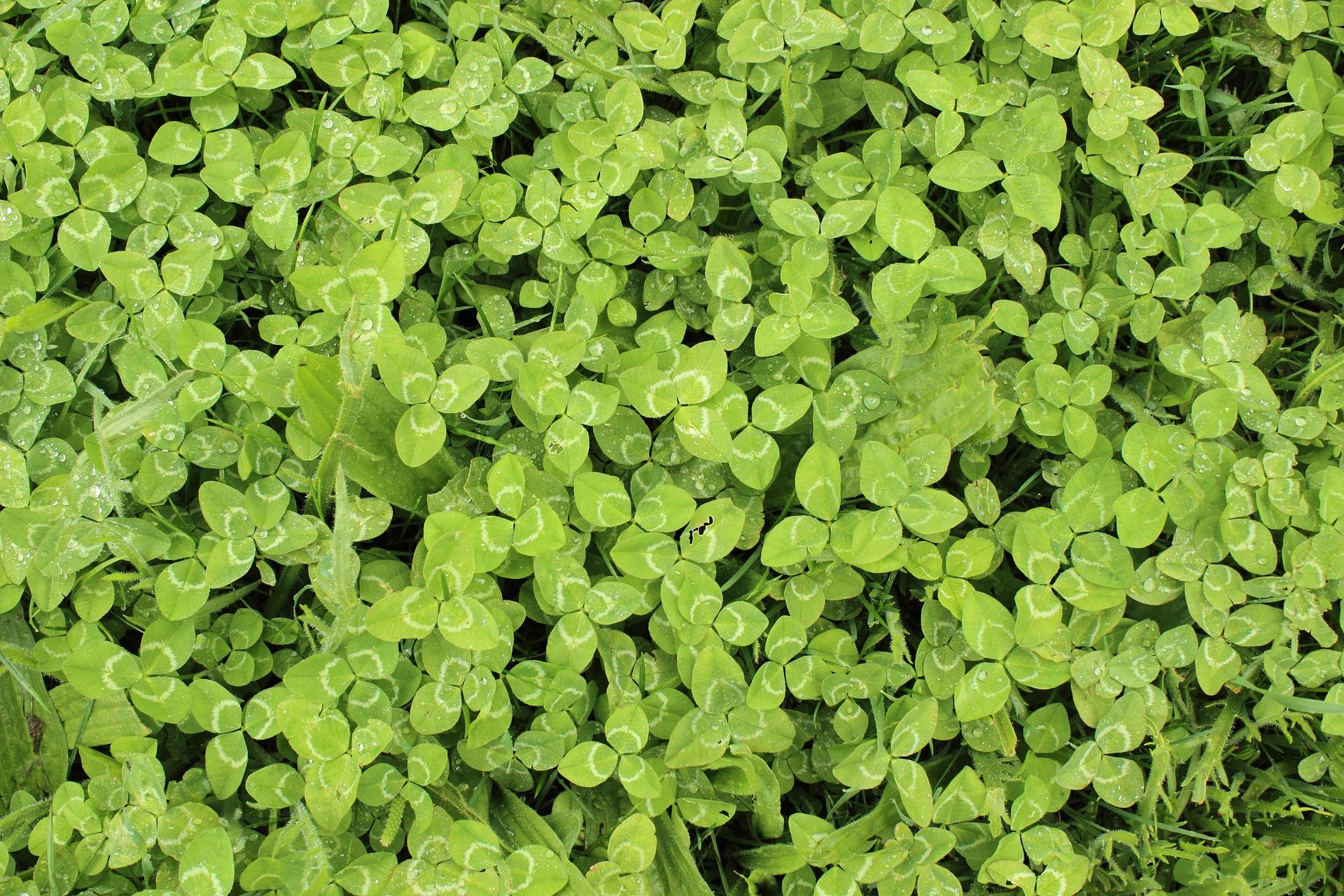 clovers-354605_1920